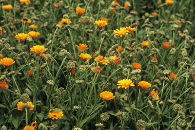 Marigold (Calendula Officinalis) Photographic Print by Adrian Thomas