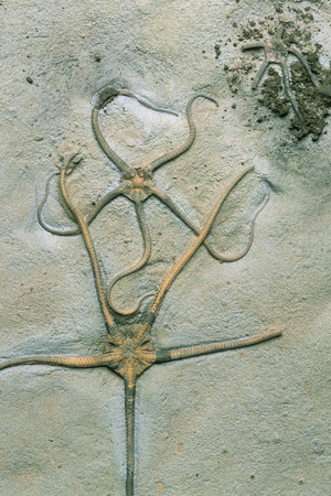 Brittle Star Fossils Photographic Print by Sinclair Stammers