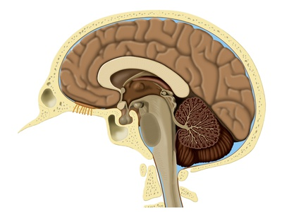Human Brain Anatomy, Artwork Photographic Print