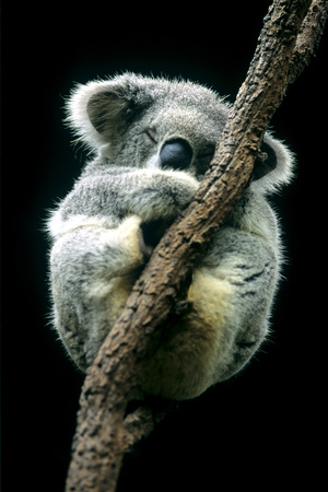 Koala Sleeping Photographic Print by Louise Murray