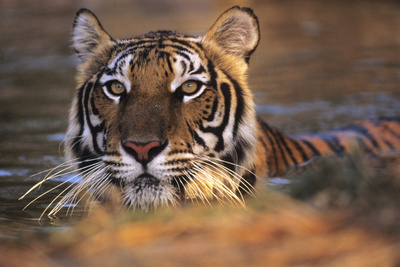 Bengal Tiger (Panthera Tigris) Photographic Print by Louise Murray