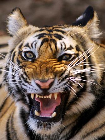 Bengal Tiger (Panthera Tigris) Photographic Print by Louise Murray