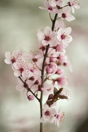 Cherry Plum (Prunus Ceracifera) Photographic Print by Maria Mosolova