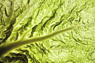 Savoy Cabbage Leaf Photographic Print by  PASIEKA
