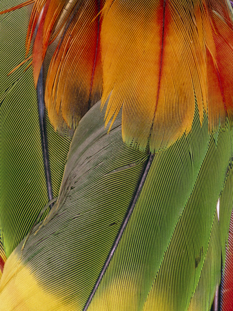 Parrot Feathers From An Indian Head-dress. Premium Photographic Print by Dr. Morley Read