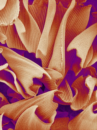 Butterfly Wing Scales, SEM Photographic Print by Susumu Nishinaga