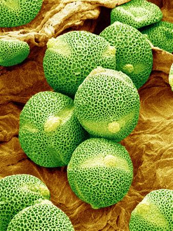 Cucumber Pollen, SEM Photographic Print by Susumu Nishinaga