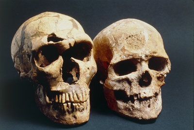 Neanderthal And Cro-Magnon 1 Skulls Photographic Print by John Reader