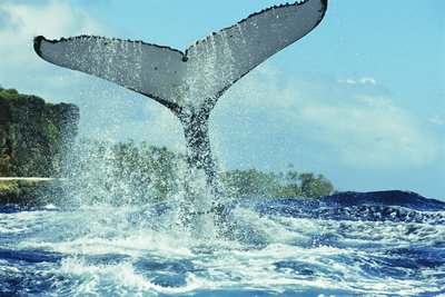 Humpback Whale's Tail Photographic Print by Alexis Rosenfeld