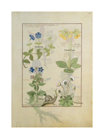 Ms Fr. Fv VI 1 Fol.114 Top Row: Blue Clematis or Crowfoot and Primula. Bottom Row: Borage or… Giclee Print by Robinet Testard