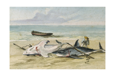 Man Measuring Two Dead Sharks on a Beach, Walvis Bay, Namibia, 1861 Giclee Print by Thomas Baines