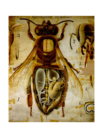 Anatomy of the Honey Bee, No.13, Pfurtscheller's Zoological Wall Chart Giclee Print by Paul Pfurtscheller