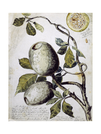 Branch of Buffalo Pear Tree, Showing Fruit and Leaves, 1849 Giclee Print by Thomas Baines