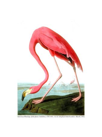 American Flamingo, 1834 Giclee Print by John James Audubon