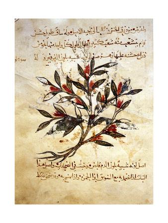 """A Folio from the Arabic Version of Dioscorides """"De Materia Medica"""" Giclee Print"""