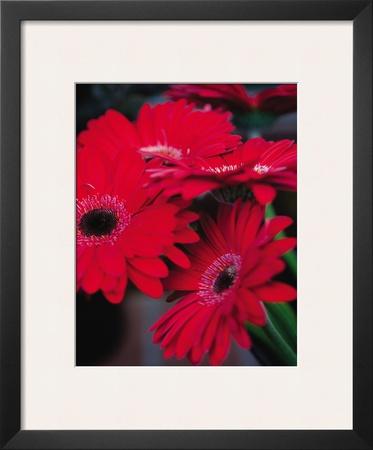 Red Gerbera Daisies I Prints by Erin Berzel