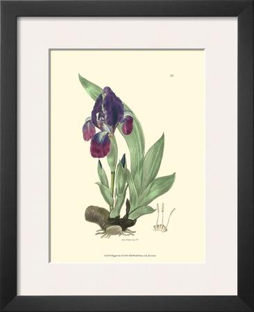 Elegant Iris I Poster by Samuel Curtis