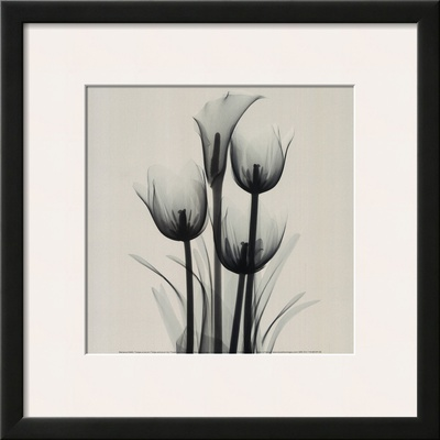 Tulips and Arum Lily Posters by Marianne Haas