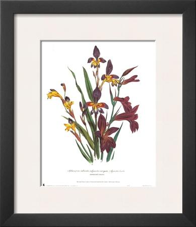 Sphoerospora Imbricata Poster by Jane W. Loudon