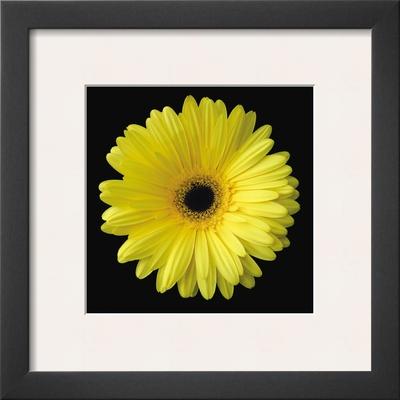 Gerbera Daisy Yellow Prints by Jim Christensen