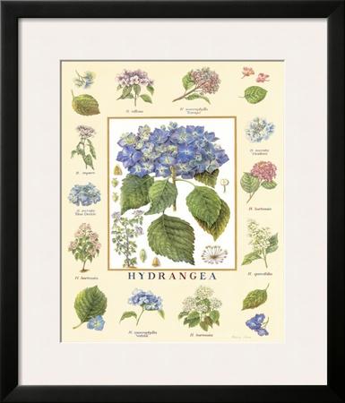 Bontanica Hydrangea Art by Petula Stone