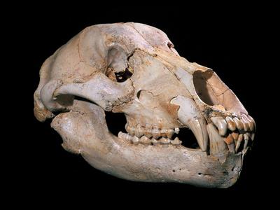 Bear Skull, Sima De Los Huesos Premium Photographic Print by Javier Trueba
