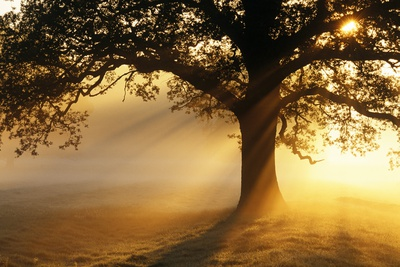 Oak Tree At Sunrise Photographic Print by Jeremy Walker