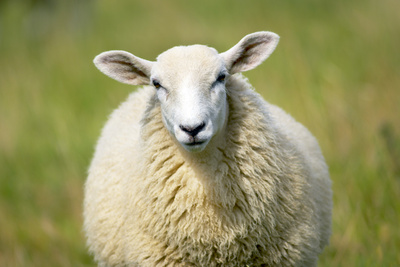 Sheep Photographic Print by Jeremy Walker