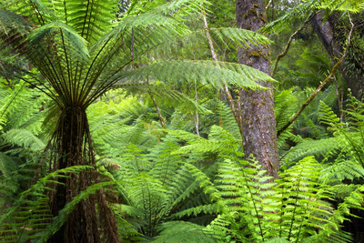 Temperate Rainforest Photographic Print by Jeremy Walker