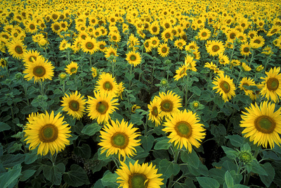 Sunflowers Photographic Print by Dr. Keith Wheeler