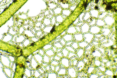 Freshwater Alga, Light Micrograph Photographic Print by Dr. Keith Wheeler