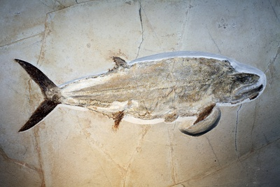 Fish Fossil Photographic Print by Dirk Wiersma