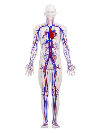 Cardiovascular System, Artwork Photographic Print by  SCIEPRO