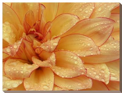 Dahlia Flower with Pedals Radiating Outward, Sammamish, Washington, USA Stretched Canvas Print by Darrell Gulin