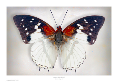 Hadrians White Charaxes Prints by Richard Reynolds