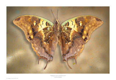 Madagascar Green Veined Charaxes Prints by Richard Reynolds