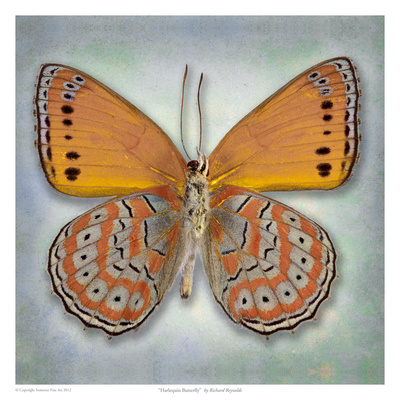 Harlequin Butterfly Posters by Richard Reynolds