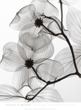 Dogwood Blossoms Positive Poster von Steven N. Meyers