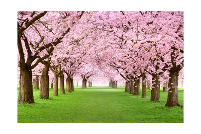 Gourgeous Cherry Trees In Full Blossom Kunst von  Smileus