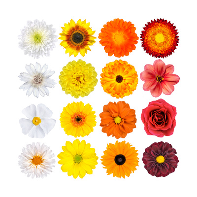 Various White, Yellow, Orange And Red Flowers Isolated On White Posters by  tr3gi