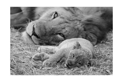 Cute Lion Cub Resting With Father Art by  Donvanstaden