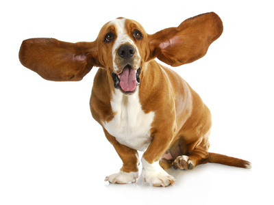 Happy Dog - Basset Hound With Ears Up Photographic Print by Willee Cole