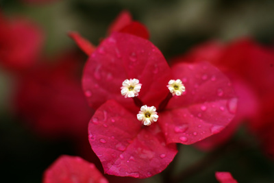 Extreme Close-Up On A Bougainvillea Photographic Print by  PaulCowan