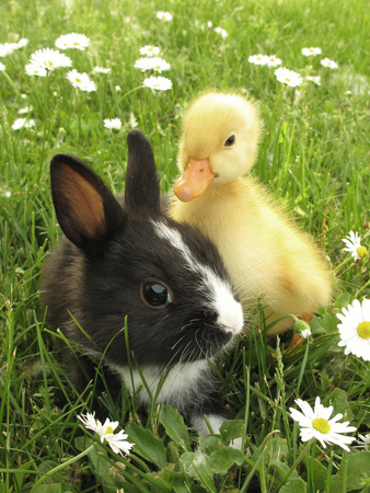Rabbit Bunny And Duckling Best Friends Fotografisk tryk af Richard Peterson