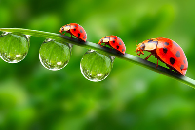 Ladybugs Family On A Dewy Grass. Close Up With Shallow Dof Photographic Print by  Kletr