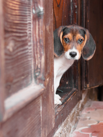 Portrait Of A Cute Beagle Puppy Sitting On Doorstep Photographic Print by  jaycriss