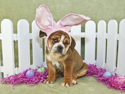 Funny Easter Bulldog Photographic Print by  JStaley401