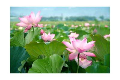 Lotus Flower Blossom Prints by  videowokart