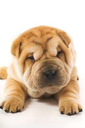 Funny Sharpei Puppy Isolated On White Background Photographic Print by NejroN Photo