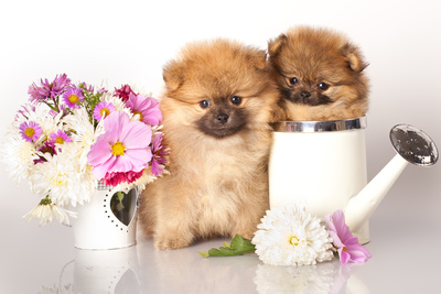 Two German (Pomeranian) Spitz Puppies And Flowers On White Background Photographic Print by  Lilun